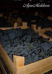 Столовый виноград Молдова – 140 тонн / день