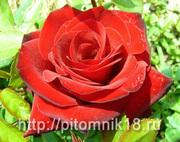 Широкий выбор саженцев привитых роз