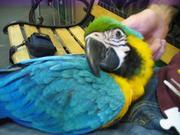 8дома,  поднятые и зарегистрирован синих и золотых попугаи ара для прод
