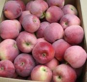 Яблоко от производителя,  сезон 10 000 тонн.