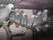 Птенцы выкормыши попугая жако класс РКФ Продаю