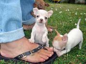 Симпатичные щенки чихуахуа для принятие