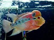 аквариумная рыба для продажи (Arowana,  Candy Basslet,  Golden Basslet,